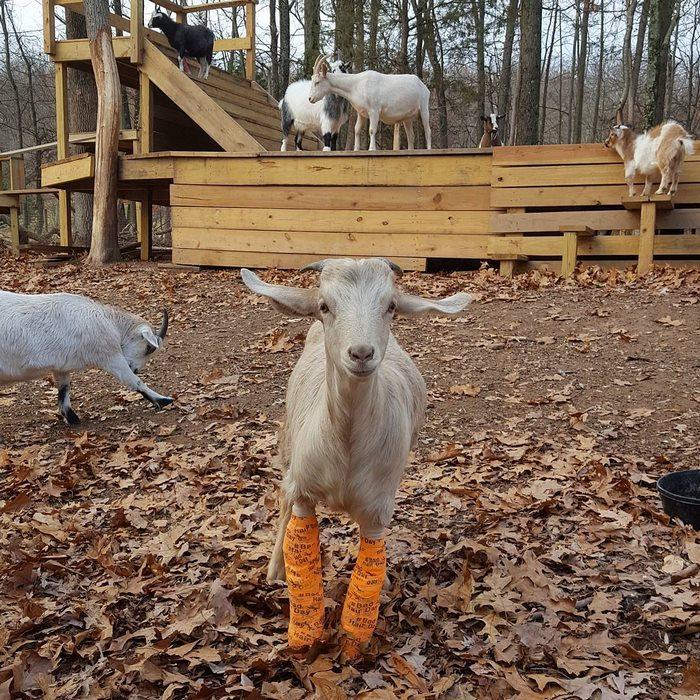 Забота человека о домашних козах