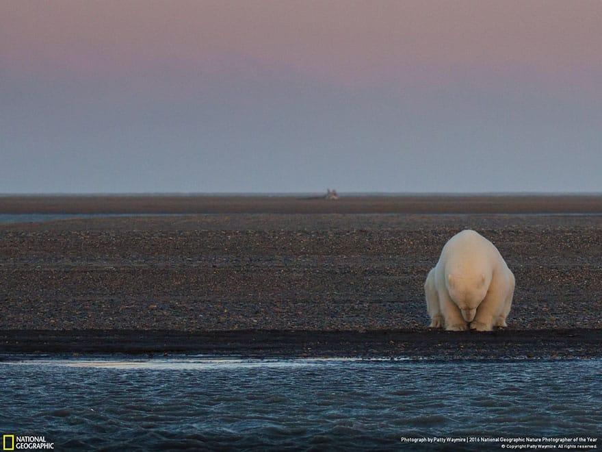 Белый медведь в ожидании снега