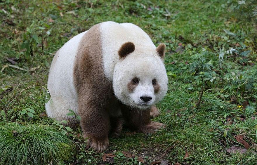 Уникальная панда в Китае