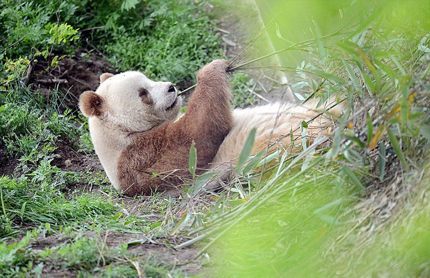 Панда с мировой известностью