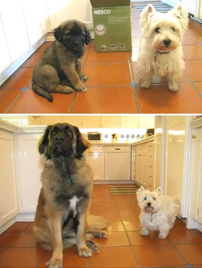 Один вырос гигантом, а друг остался маленькой собакой