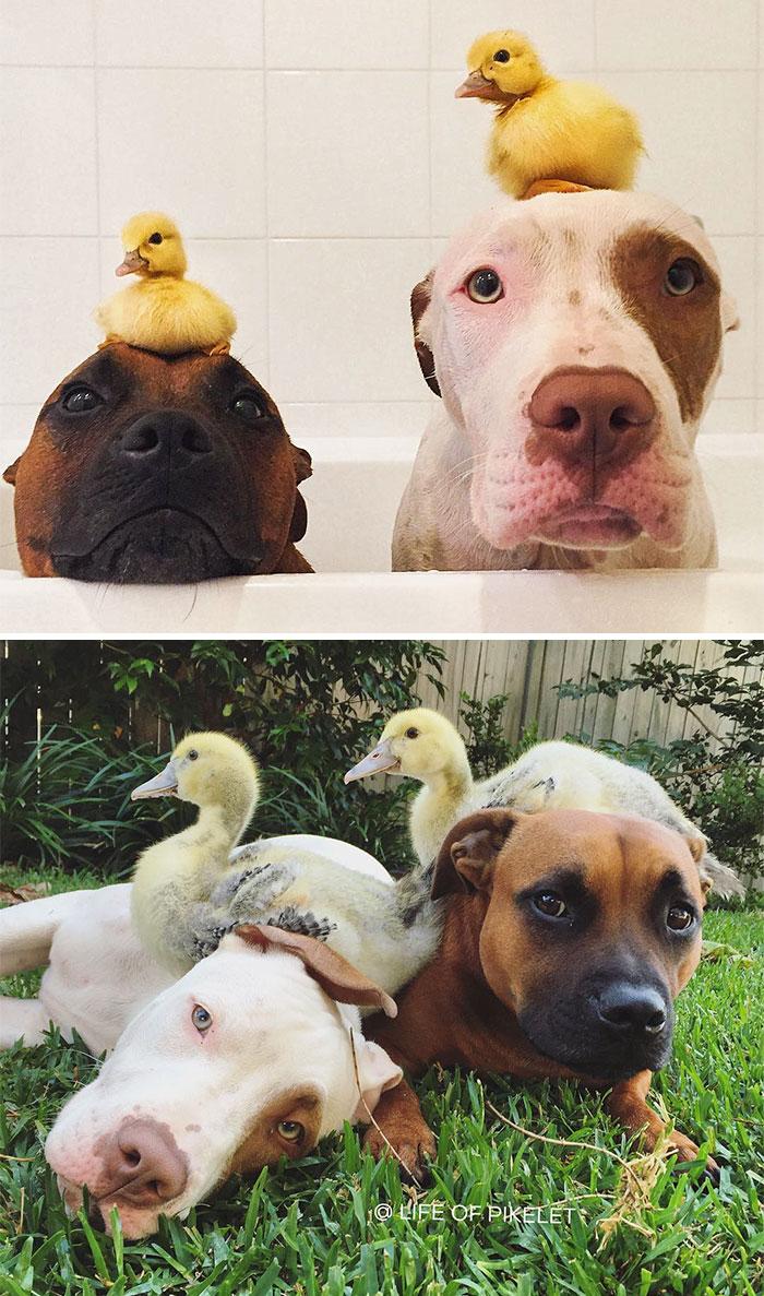Собаки дружат с утками