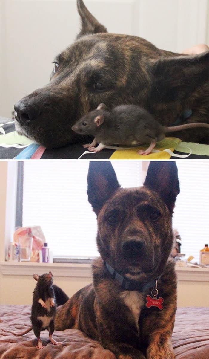 Пес и крысы