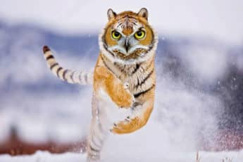 Тигровая сова