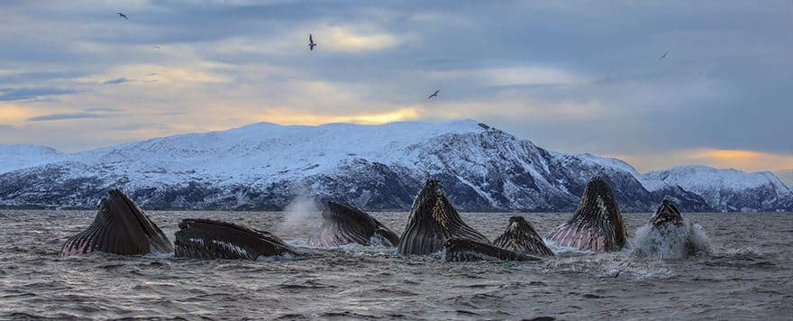 Стая горбатых китов