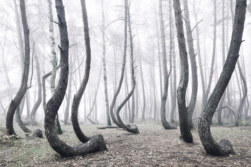 400 скрученных деревьев