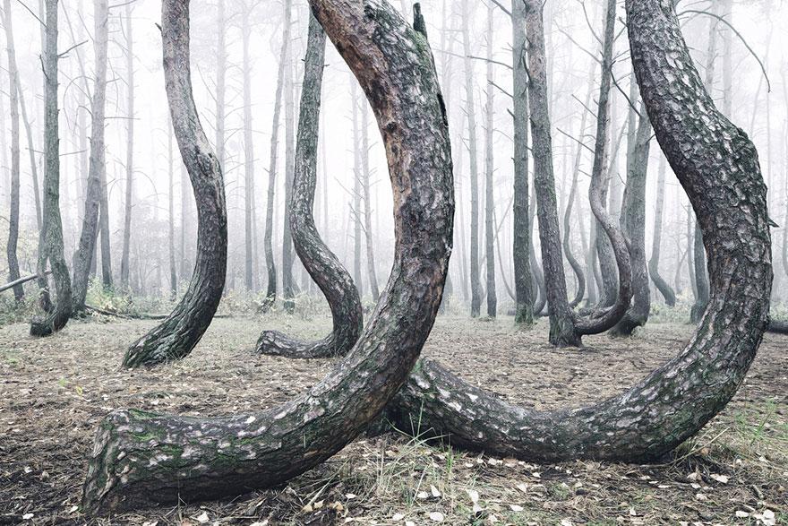 Изогнутые стволы деревьев