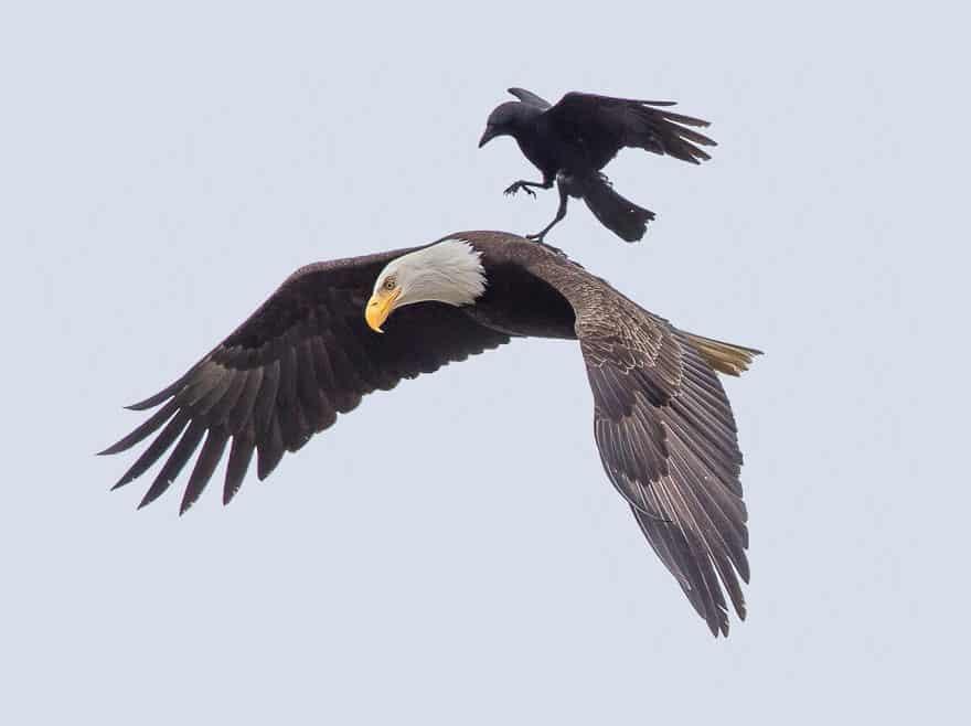 Ворона охотится за орлом