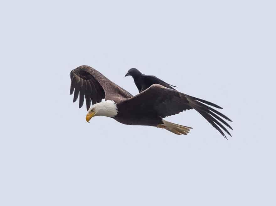 Орел с вороной на спине
