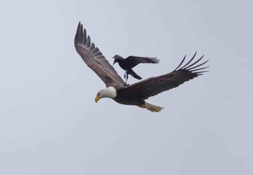 Ворона в полете оседлала орла
