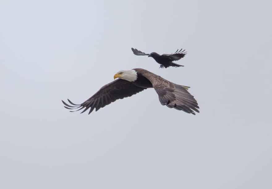 Самая умная ворона