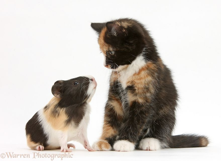 Котёнок и морская свинка