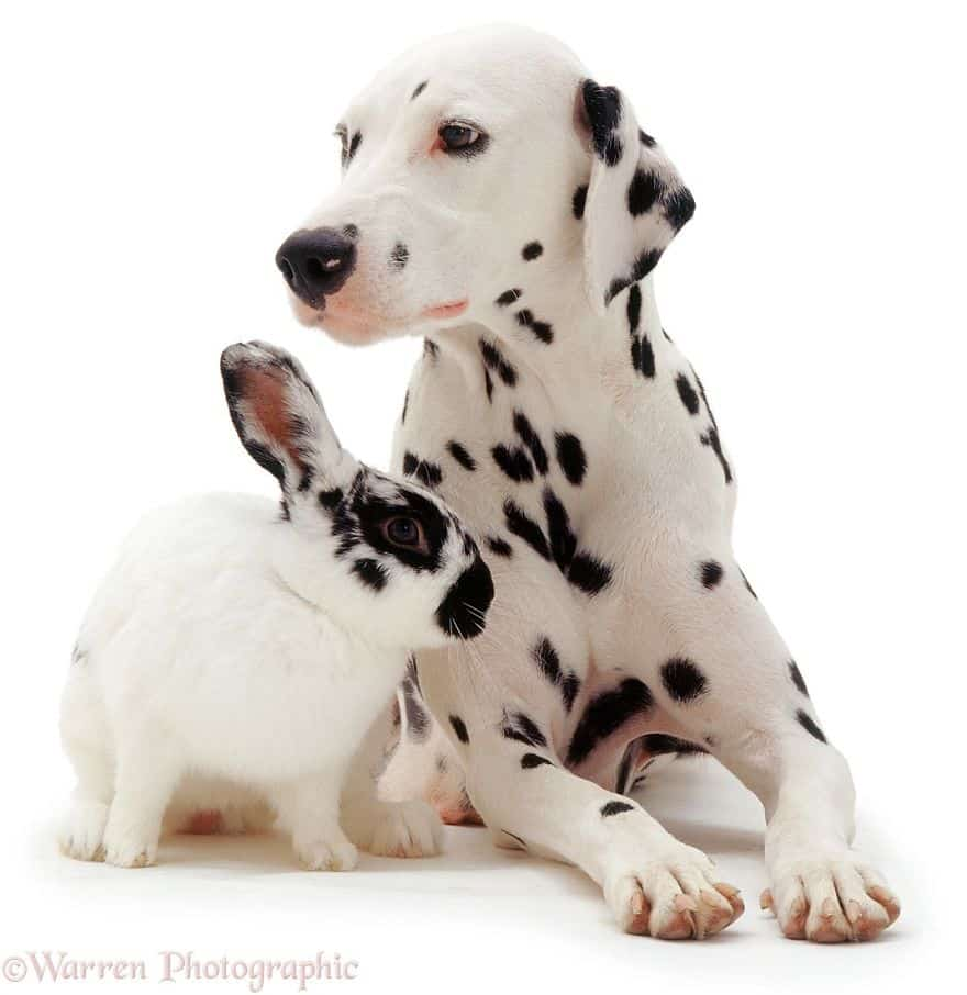 Далматинец и братец кролик