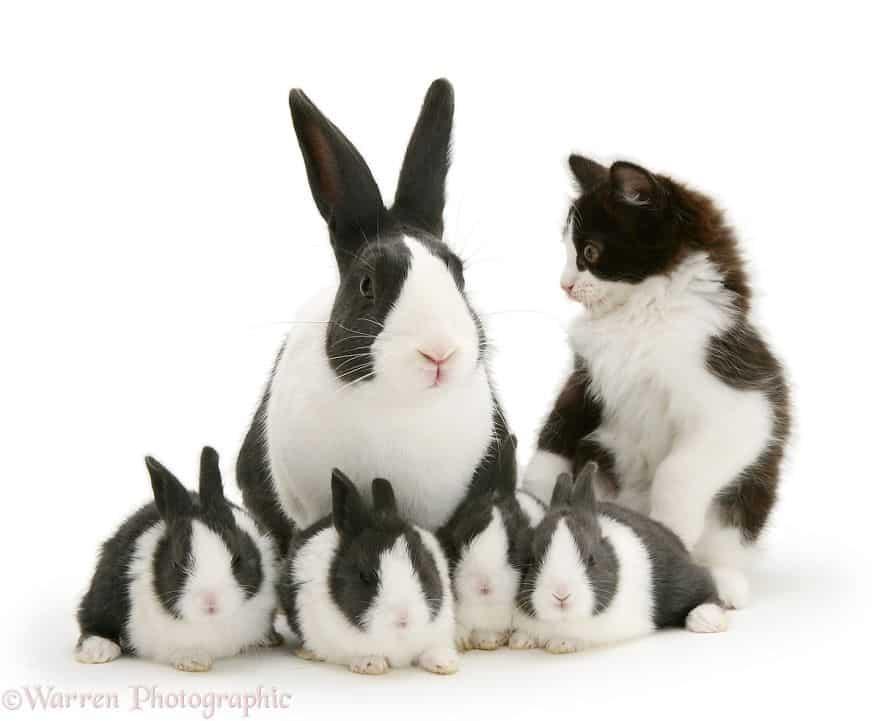 К семейству кроликов добавился котенок