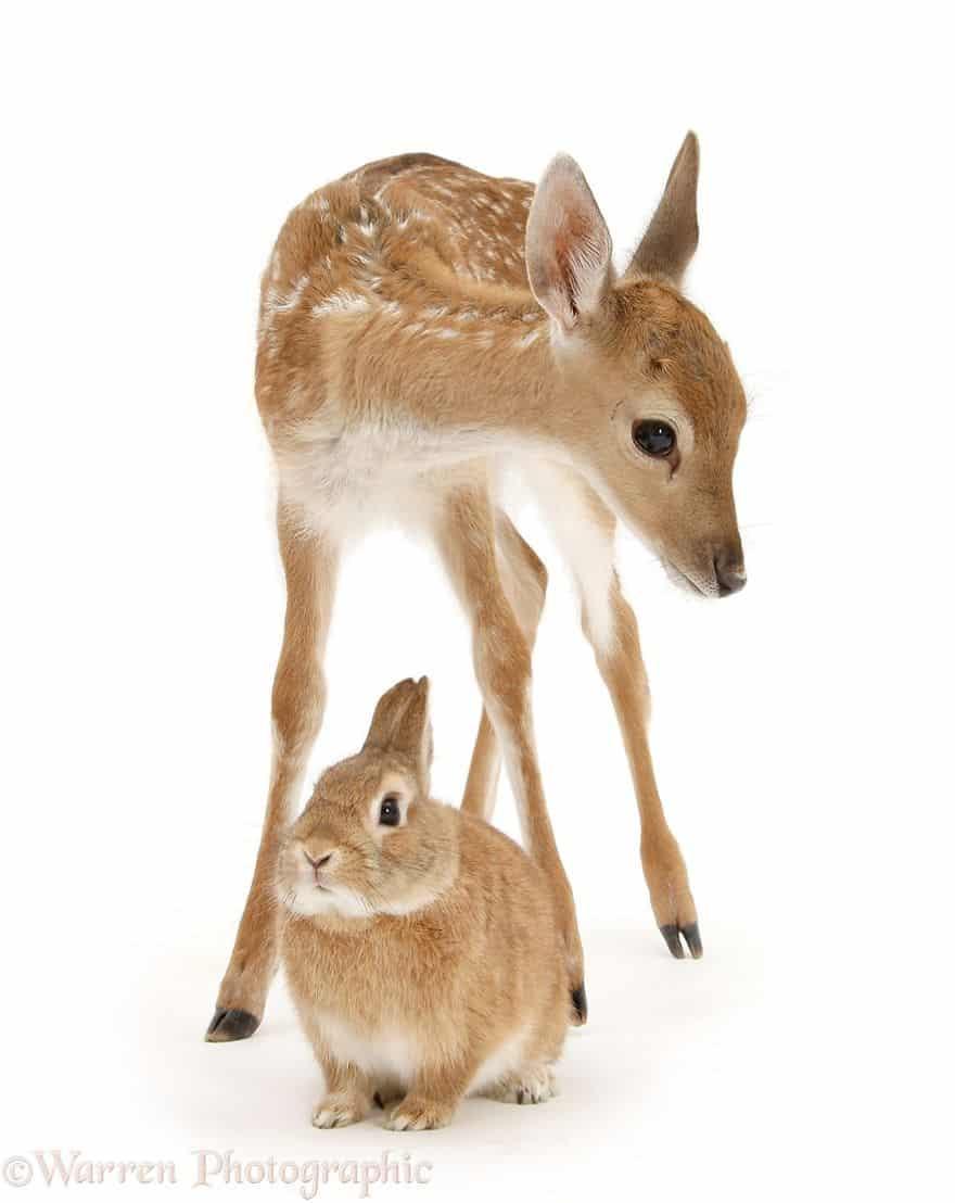 Олененок и взрослый заяц