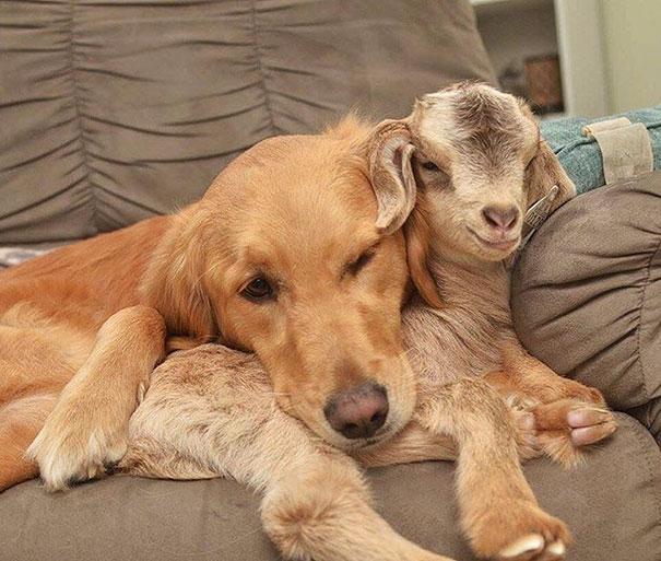 ретривер и козлята