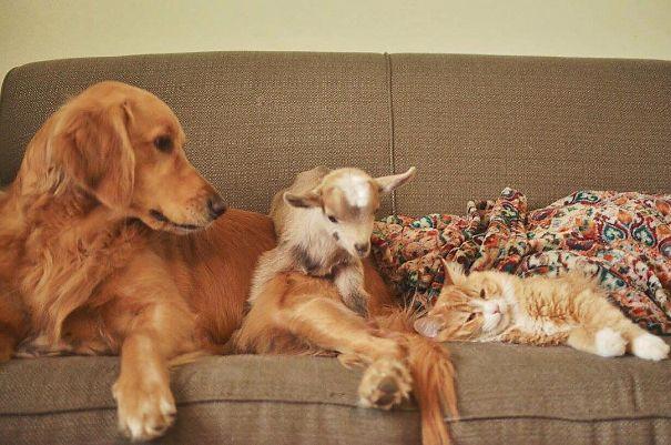 Самая заботливая мать для козлят