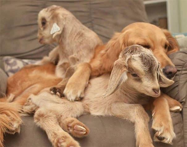 Козлята с собакой