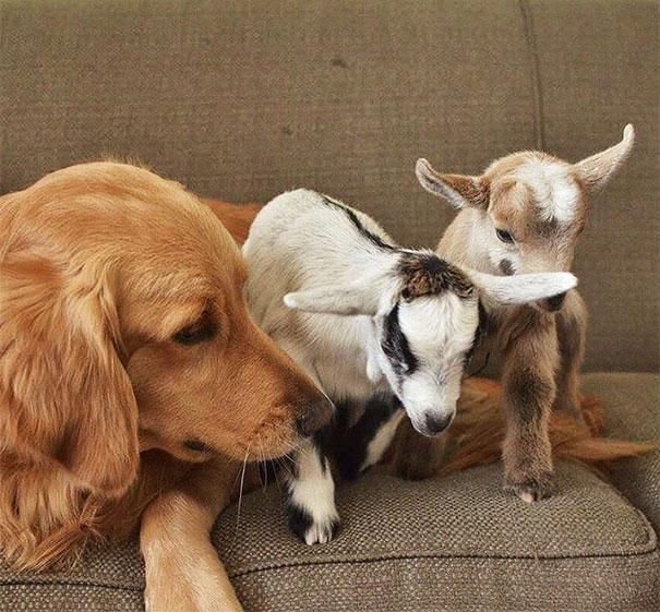 Самка ретривера опекает козлят