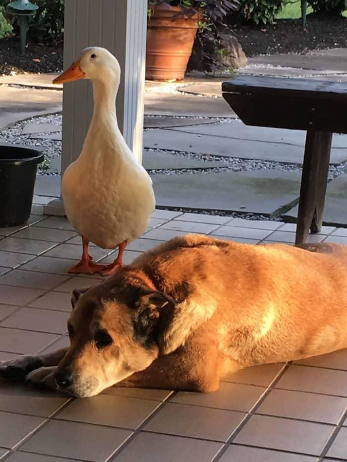 Утка стала новым другом для собаки