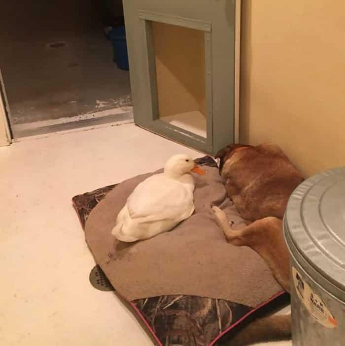 Пес и утка спят вместе