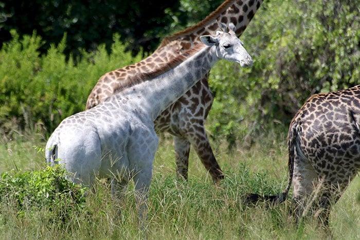Окрас белого жирафа
