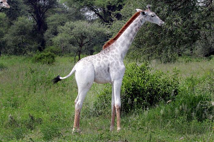 Жираф с белой шкурой