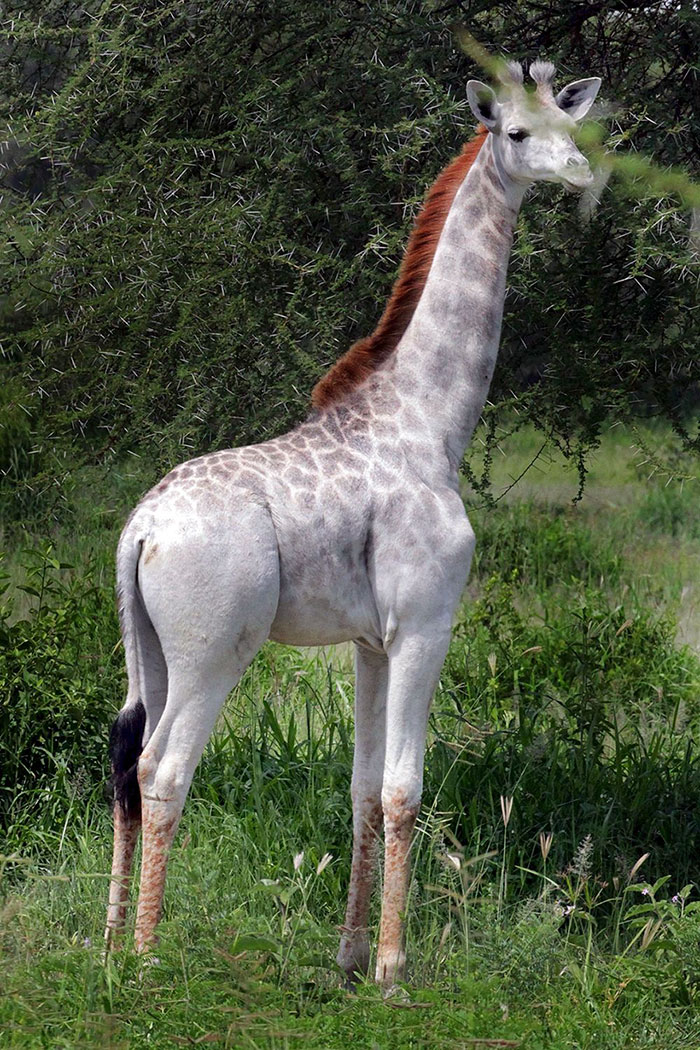 Самый красивый жираф