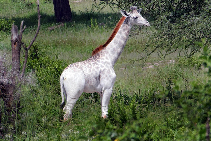 Жираф альбинос