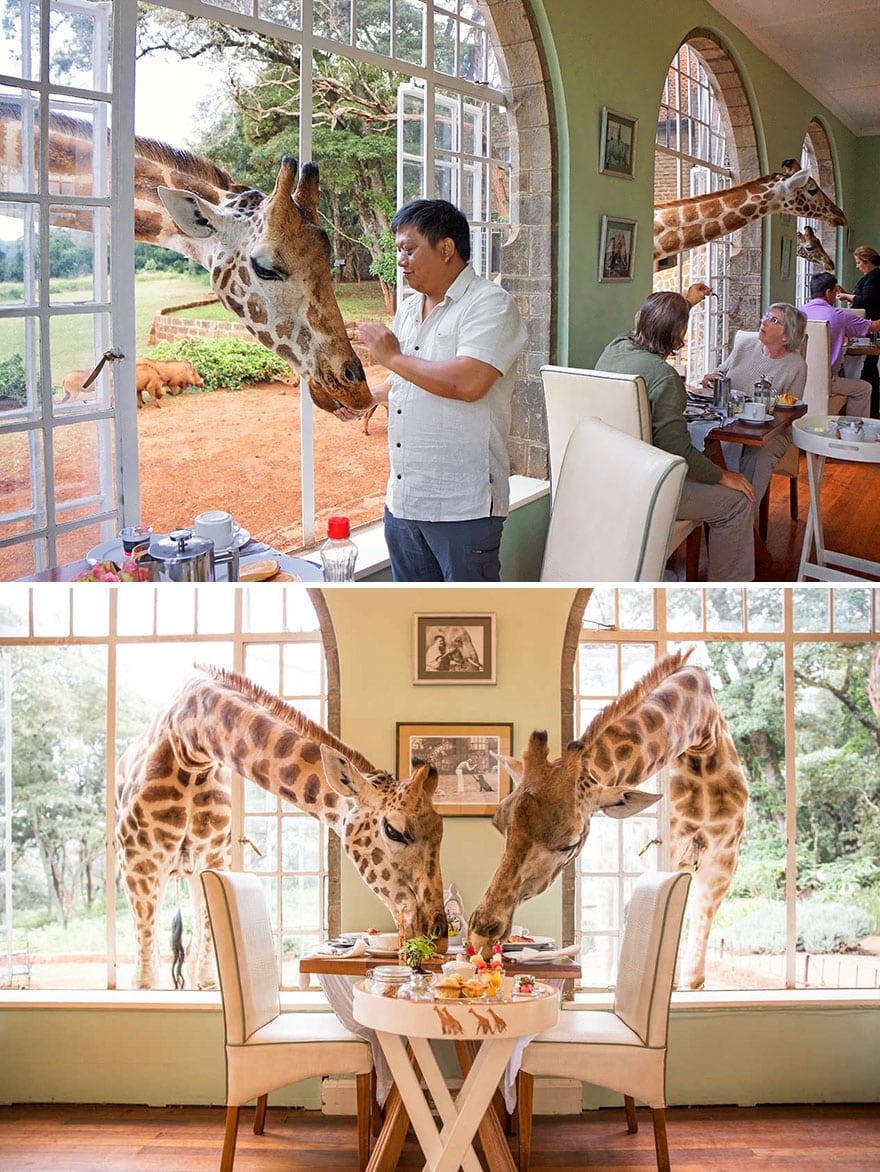 Завтрак с Жираф, поместье Лангата, Кения