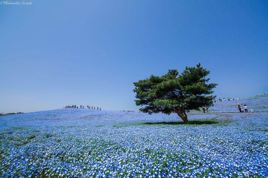 Цветение полей в Японии