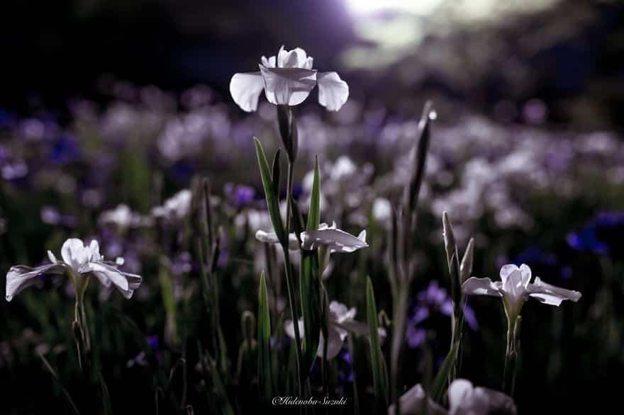 Цветы в тумане