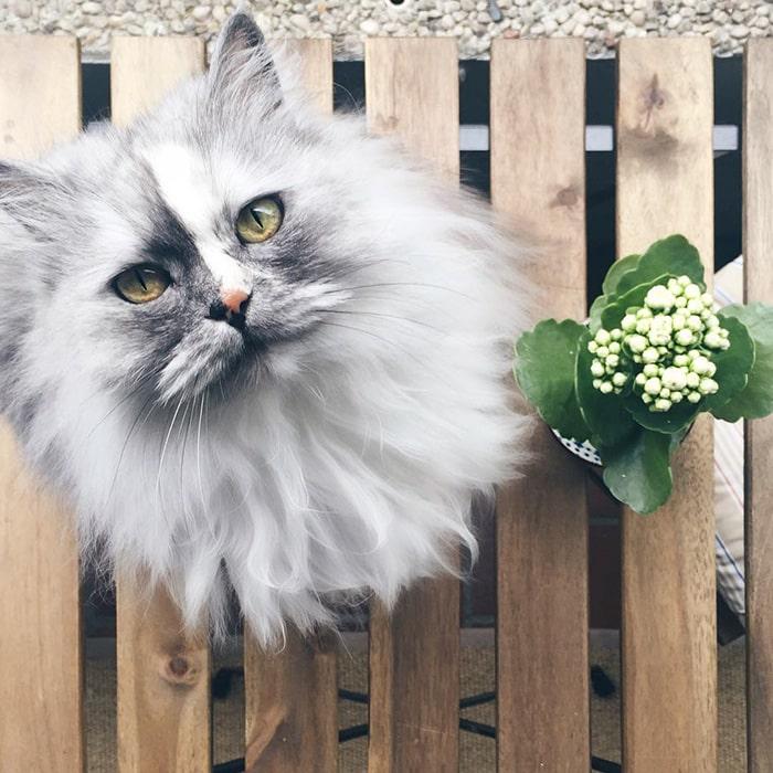 Алиса, персидская кошка с мраморным мехом