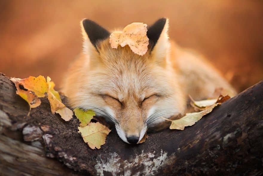 лиса осенью