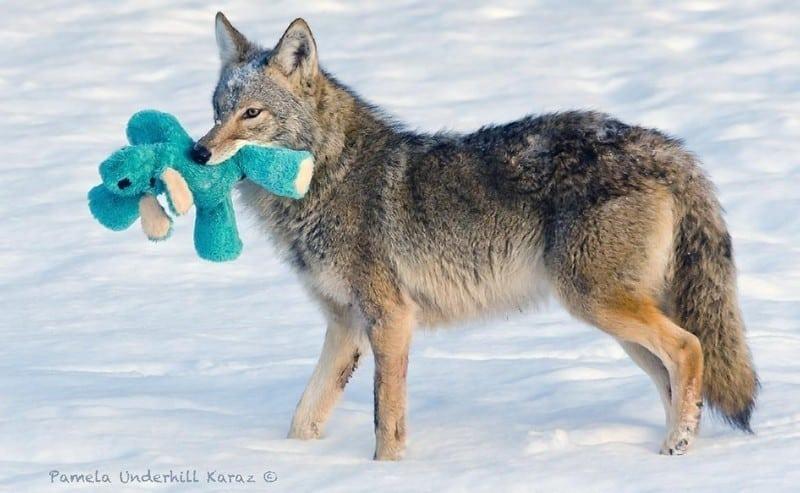 Койот с игрушкой