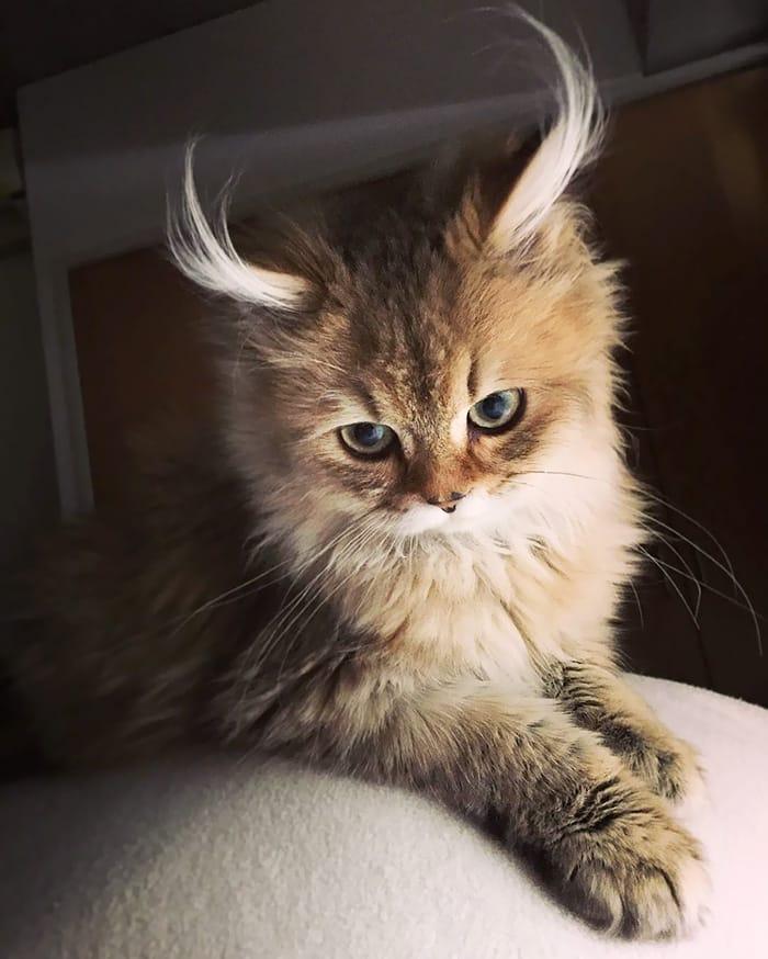 Кот-антилопа