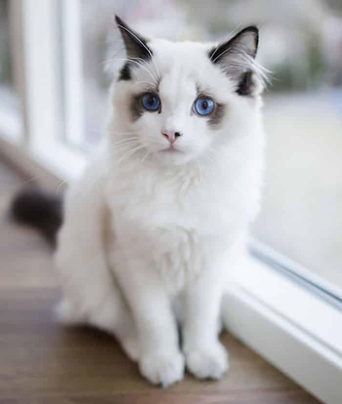 Кот с глазами цвета океана