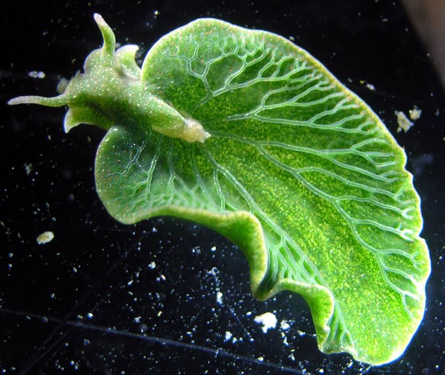 Leaf Slug (Elysia Chlorotica)