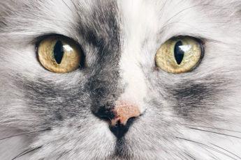 Самая красивая серая кошка