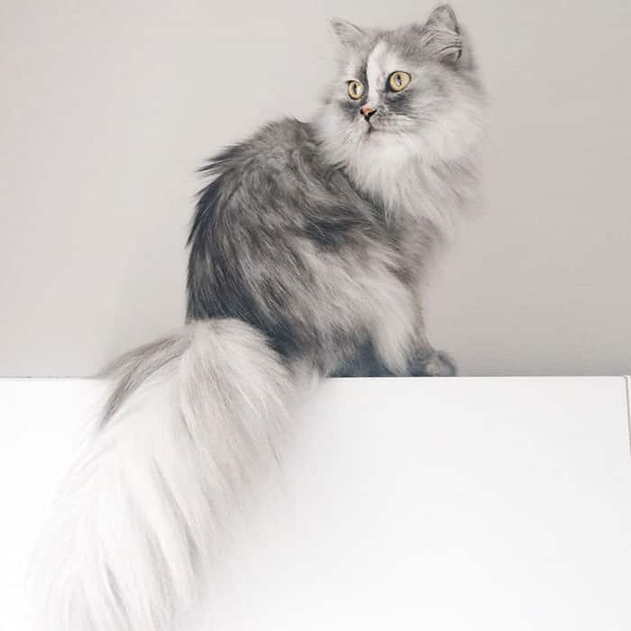 Персидская красавица - кошка