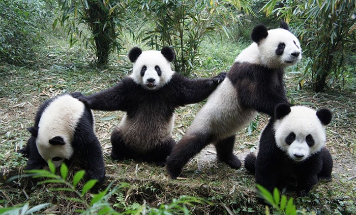 Семья панд