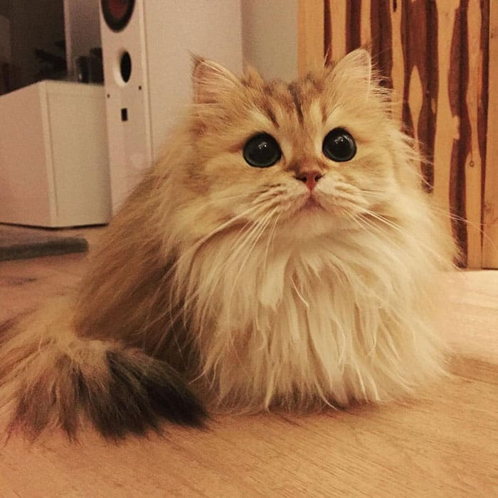 Кошка Смузи - звезда Инстаграмм