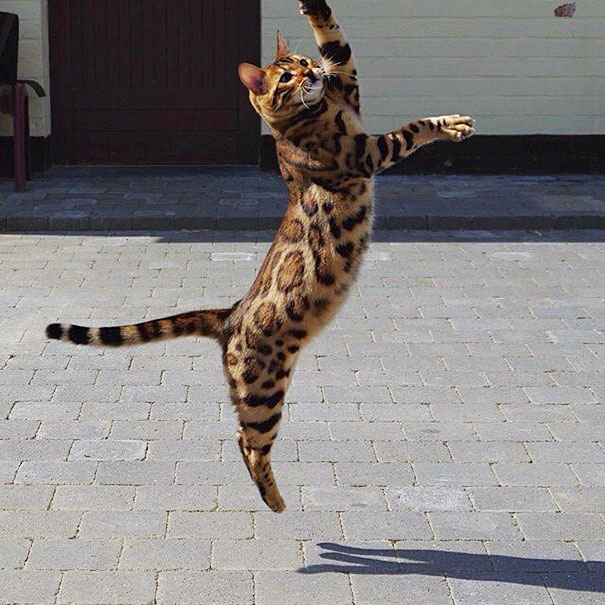 Кот по кличке Тор