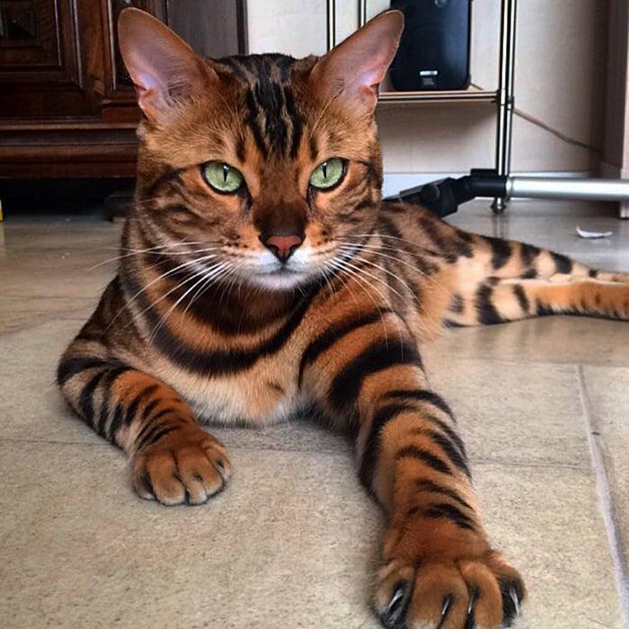 бенгальский кот с необычным окрасом