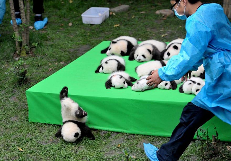 Заботливая няня в детском саду для панд