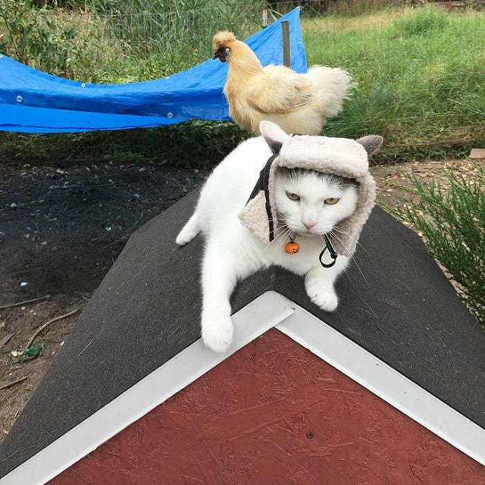 Кот, которого обожают куры