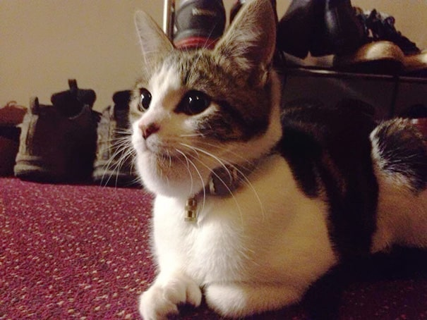 Морда ужаленной кошки