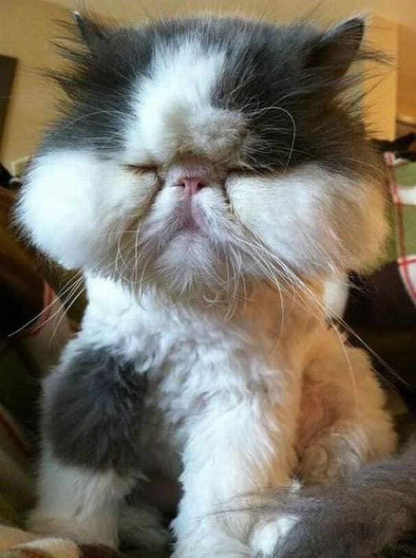 Морда ужаленной пчелами кошки