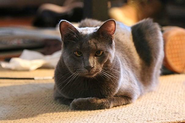 Грудь ужаленной кошки