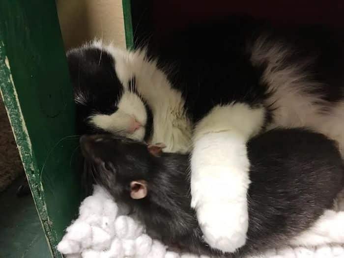 Дружба кота с крысой